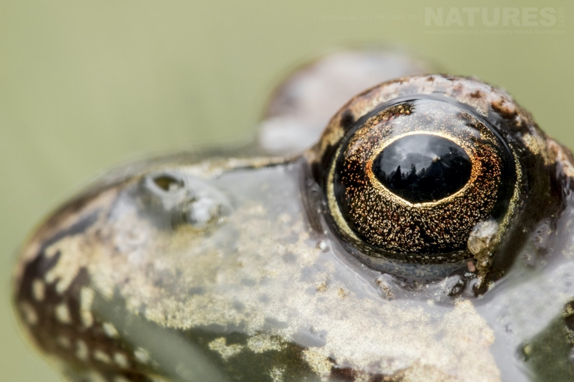 Detail of a Common Frog photographed in Bulgaria during the NaturesLens Reptiles Amphibians of Bulgaria photography holiday