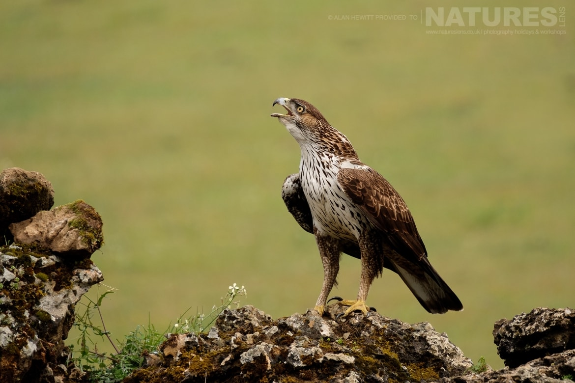 One of the Bonellis Eagles calling photographed during one of the NaturesLens photography holidays to Spain