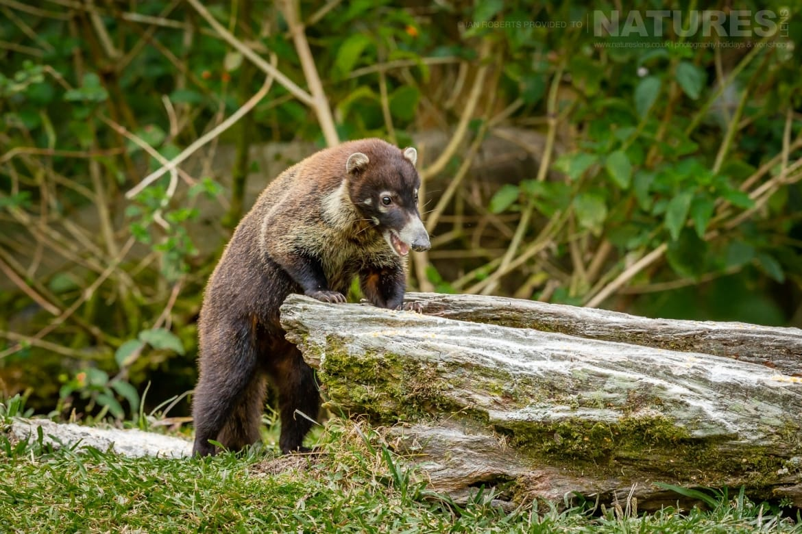 One of the Coati photographed during the NaturesLens Costa Rican Wildlife Photography Holiday 1