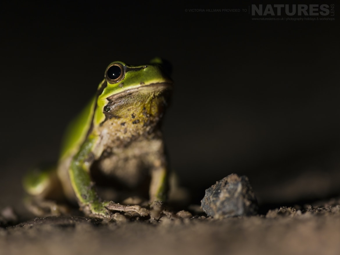 One of the European Tree Frogs photographed after the sun had set photographed during the NaturesLens Reptiles Amphibians of Bulgaria Photography Holiday