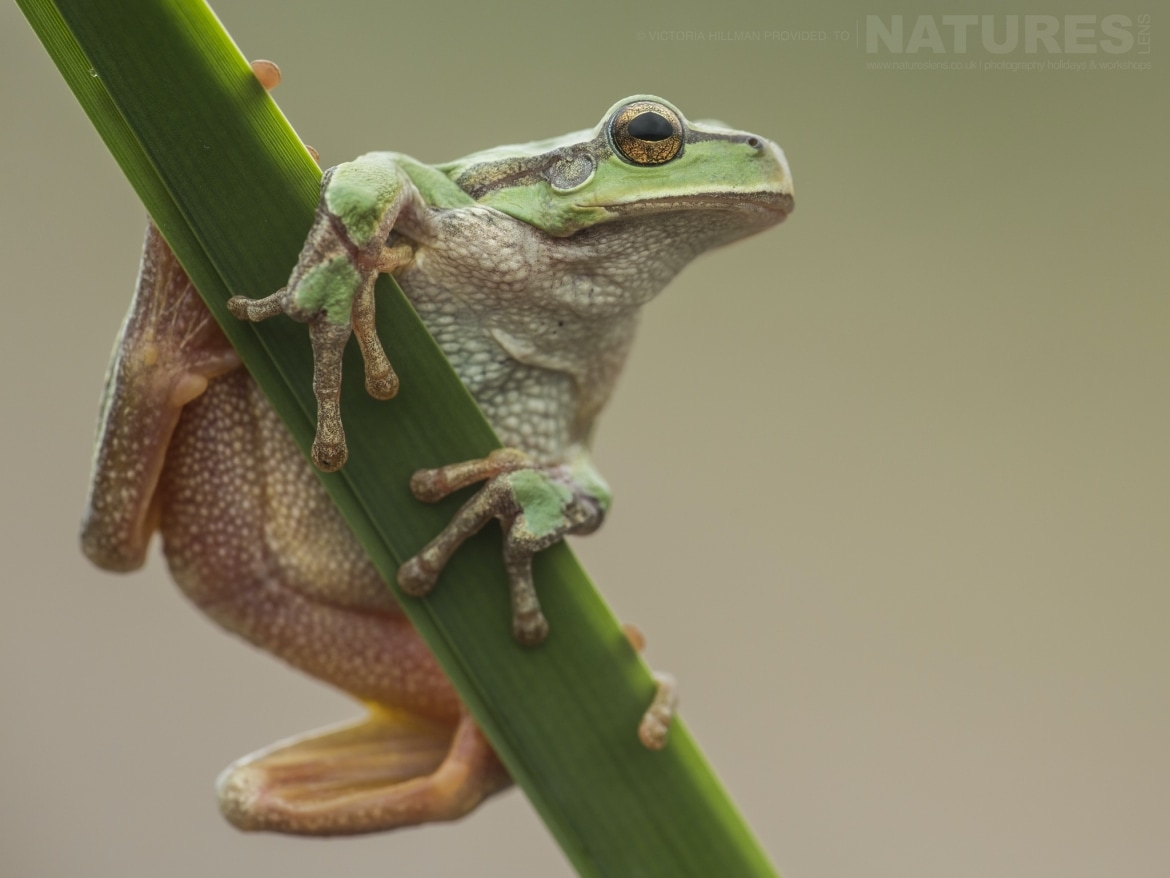 One of the European Tree Frogs posing on a reed photographed during the NaturesLens Reptiles Amphibians of Bulgaria Photography Holiday