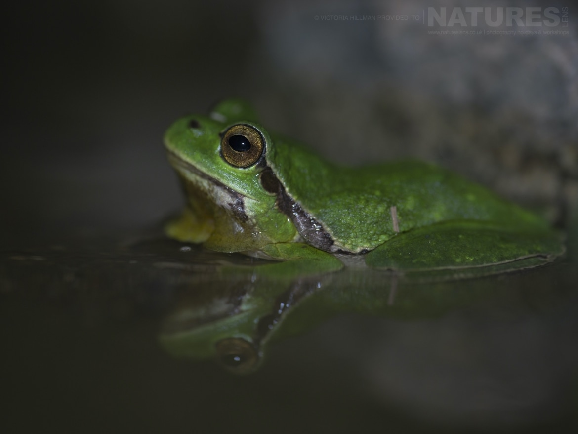 One of the European Tree Frogs with a nice reflection in the water of the pnd photographed during the NaturesLens Reptiles Amphibians of Bulgaria Photography Holiday