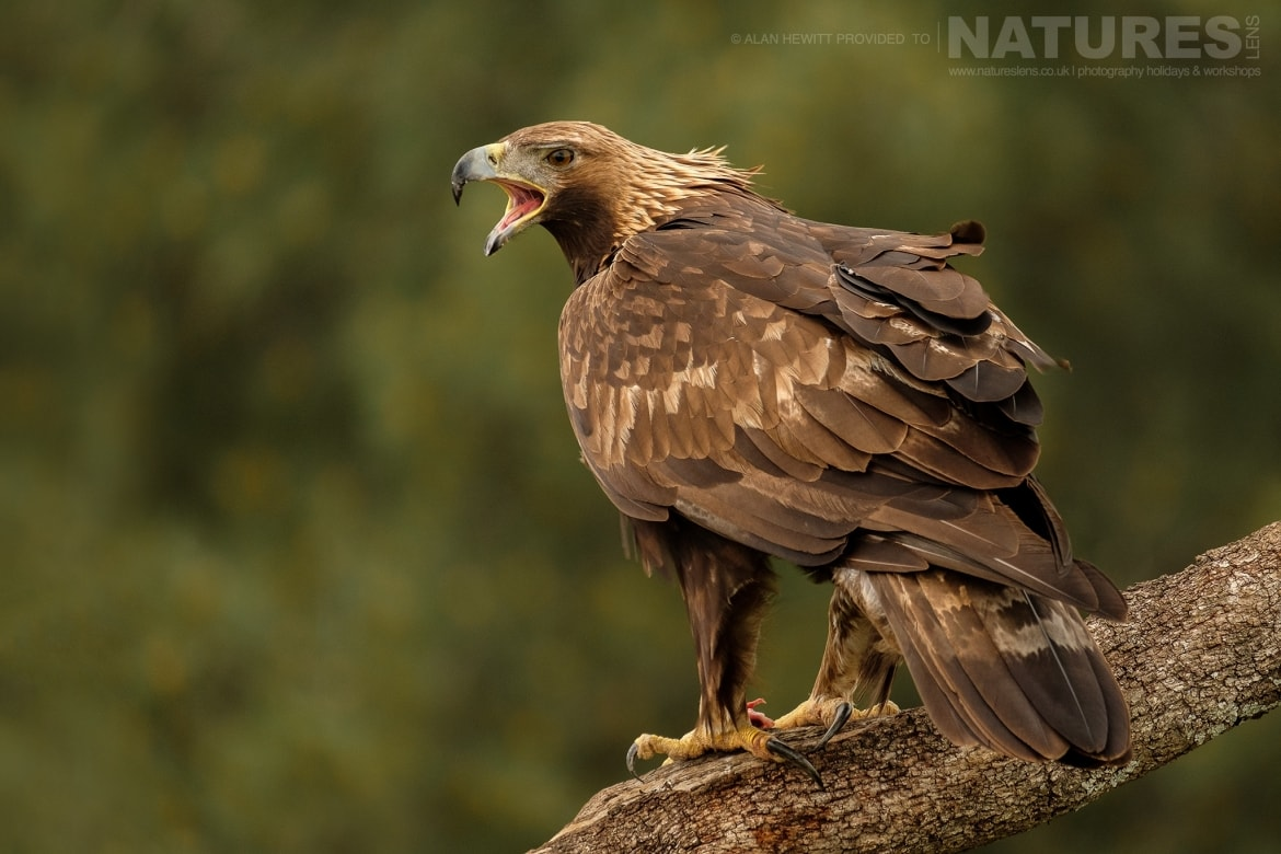 One of the Golden Eagles calling photographed during one of the NaturesLens photography holidays to Spain