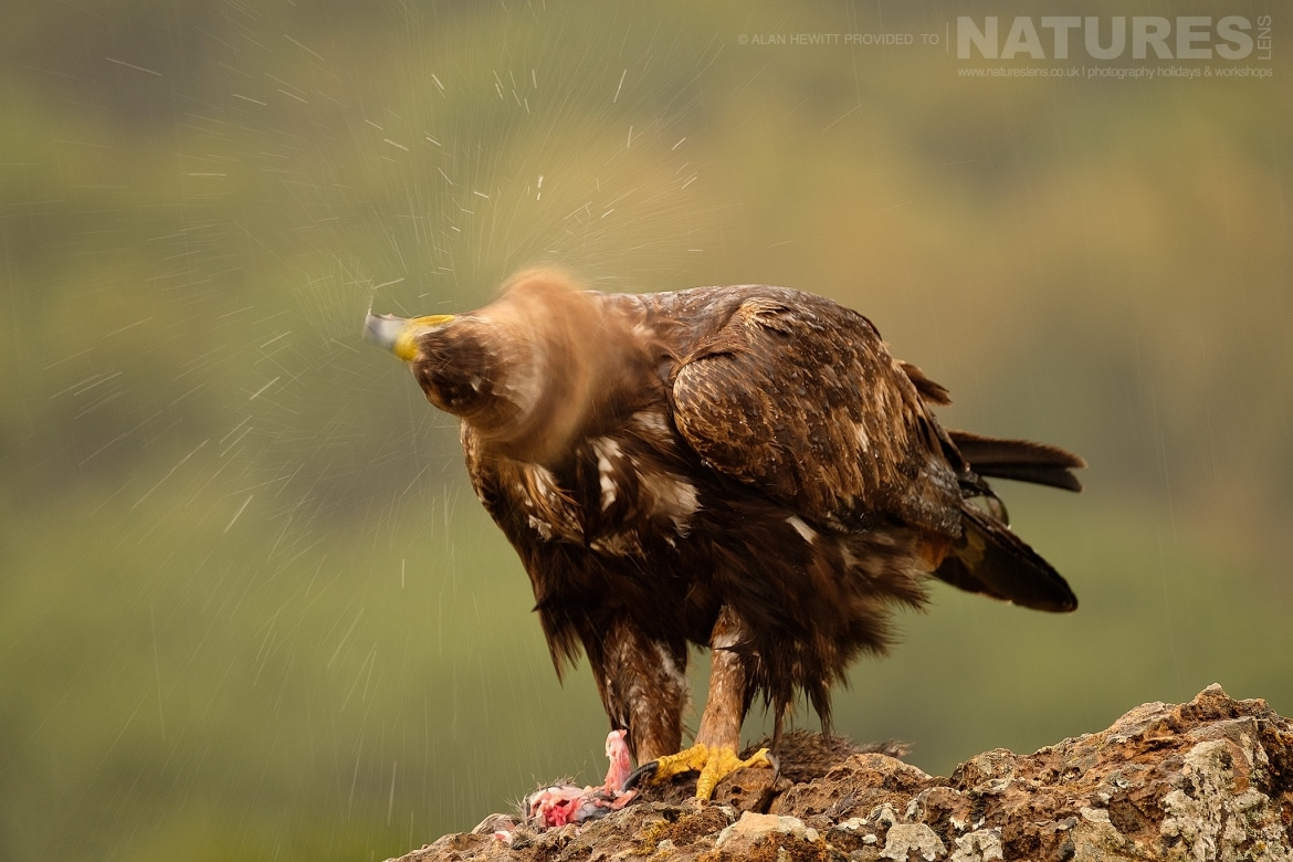 One of the Golden Eagles dries itself after a rain shower photographed during one of the NaturesLens photography holidays to Spain
