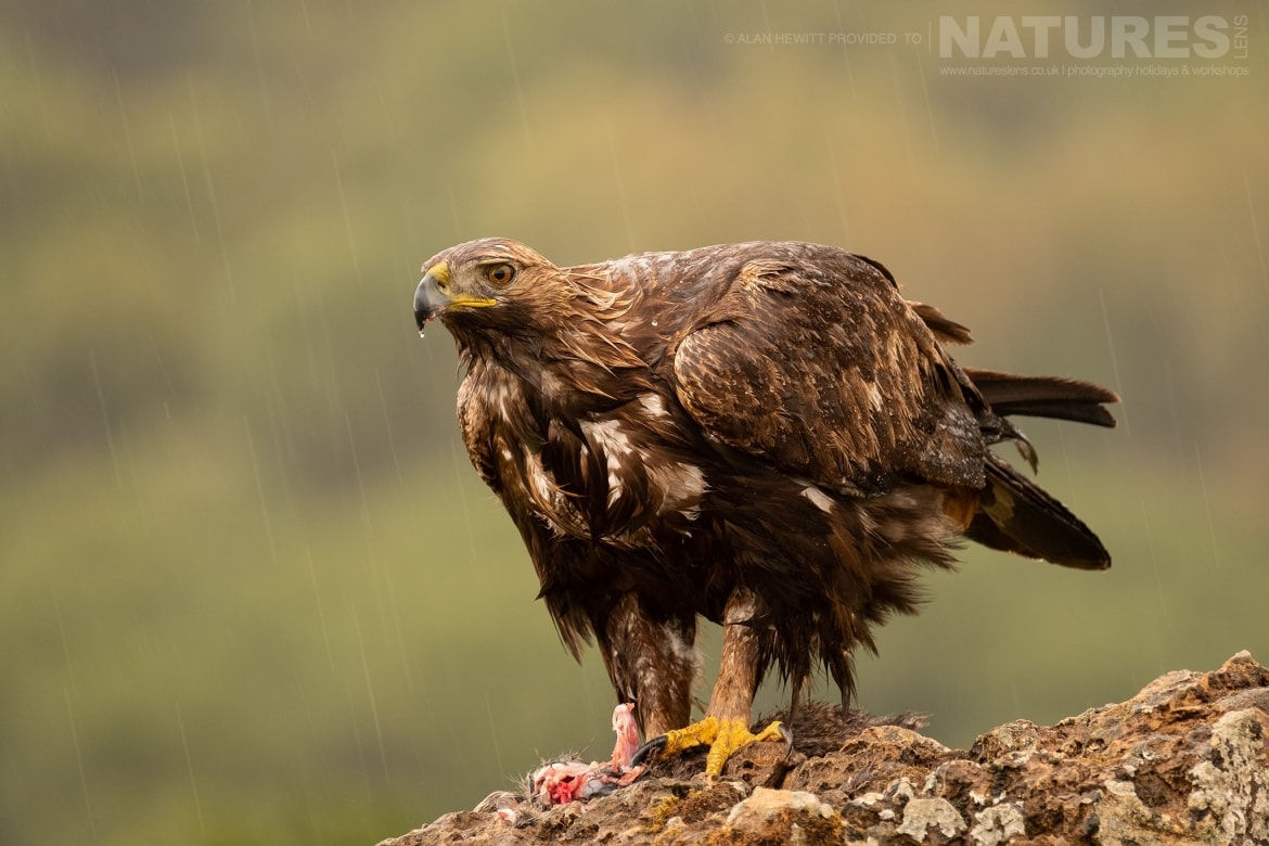 One of the Golden Eagles poses on a rocky outcrop photographed during one of the NaturesLens photography holidays to Spain