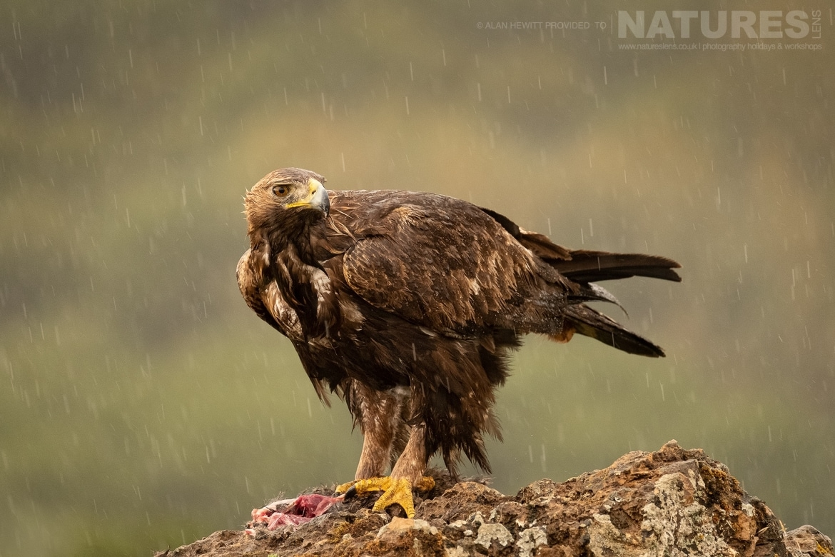 One of the Golden Eagles poses on a rocky outcrop unbothered by the rain photographed during one of the NaturesLens photography holidays to Spain
