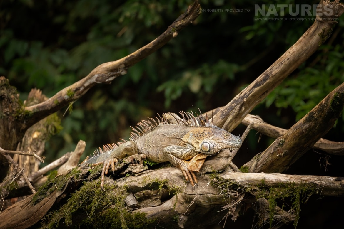One of the Green Iguana photographed on the banks of the Sarapiqui River during the NaturesLens Costa Rican Wildlife Photography Holiday 1