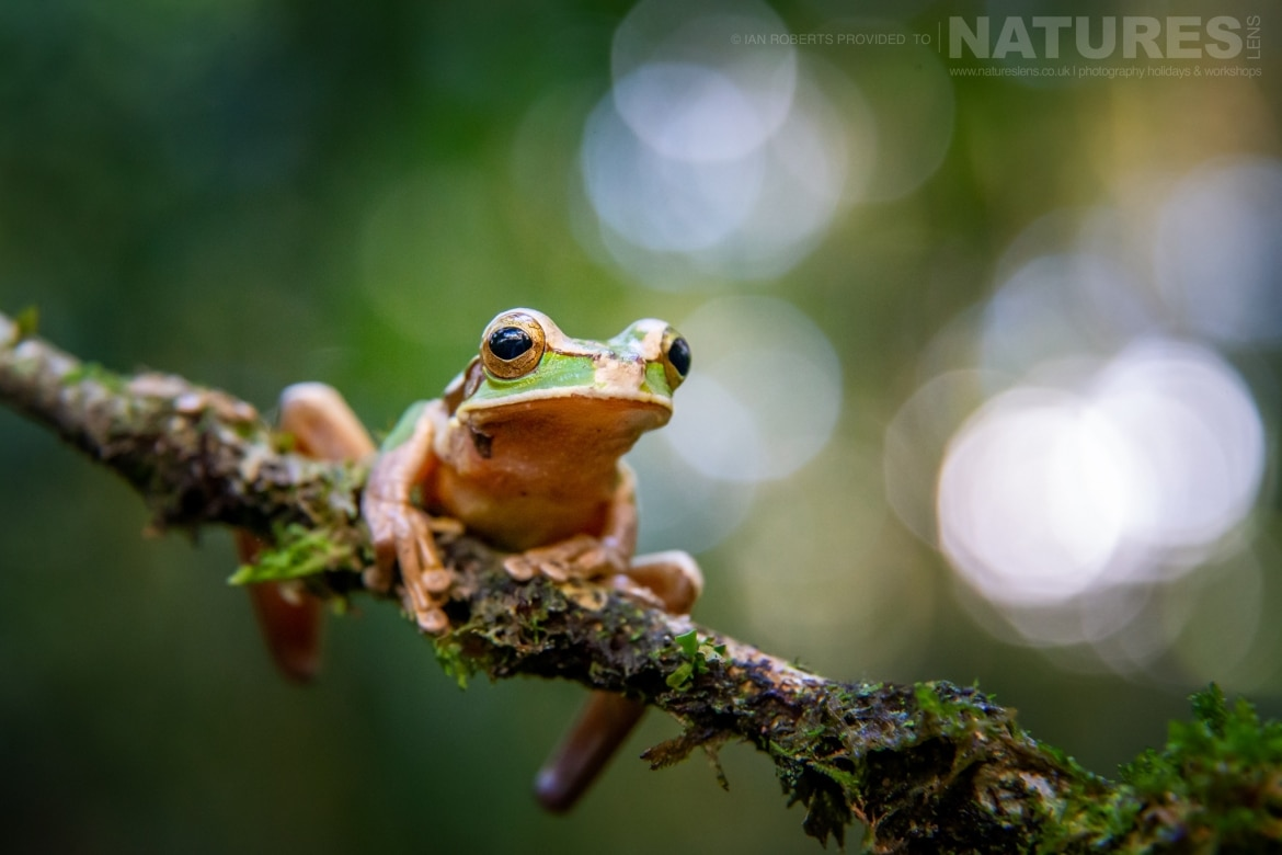 One of the Masked Tree Frogs photographed during the NaturesLens Costa Rican Wildlife Photography Holiday 1