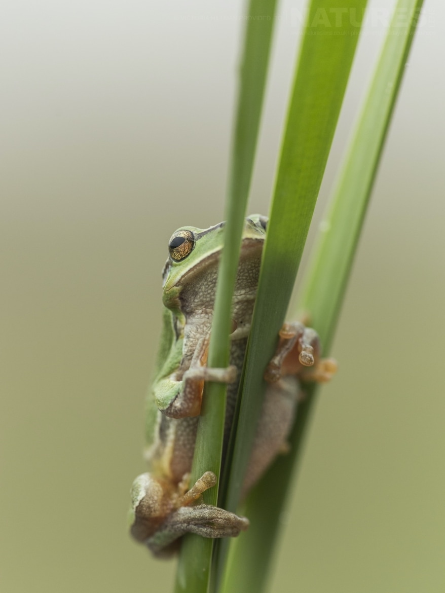 One of the Tree Frogs posing on a reed photographed during the NaturesLens Reptiles Amphibians of Bulgaria Photography Holiday