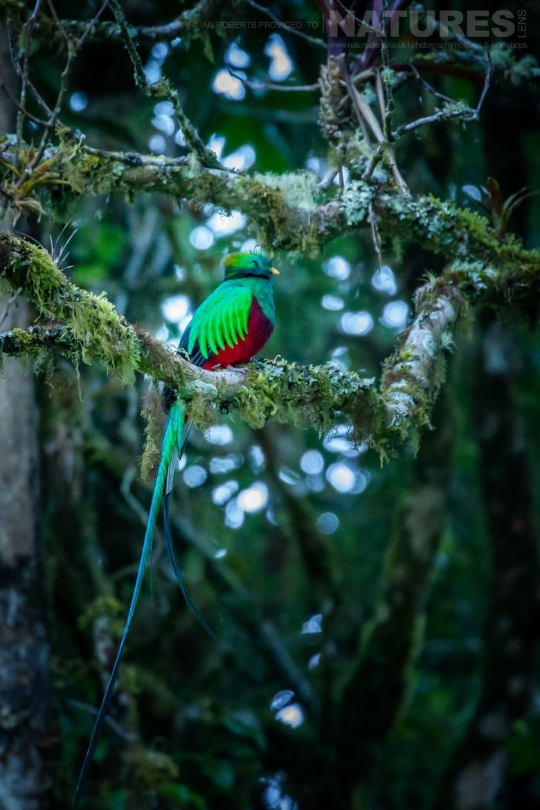 One of the elusive Resplendent Quetzals photographed during the NaturesLens Costa Rican Wildlife Photography Holiday 1