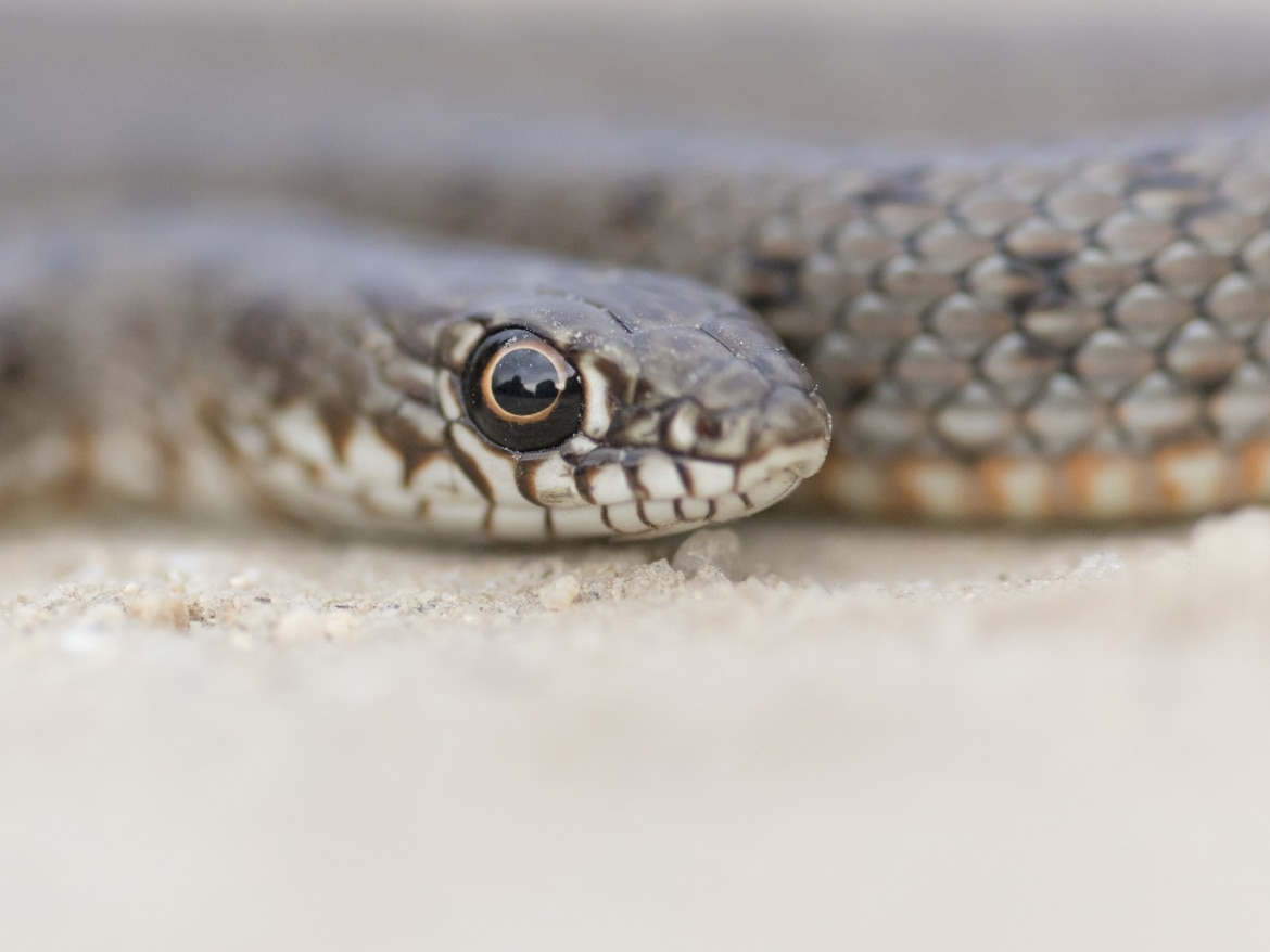 The detail of the head of a Caspian Whip Snake photographed during the NaturesLens Reptiles Amphibians of Bulgaria Photography Holiday