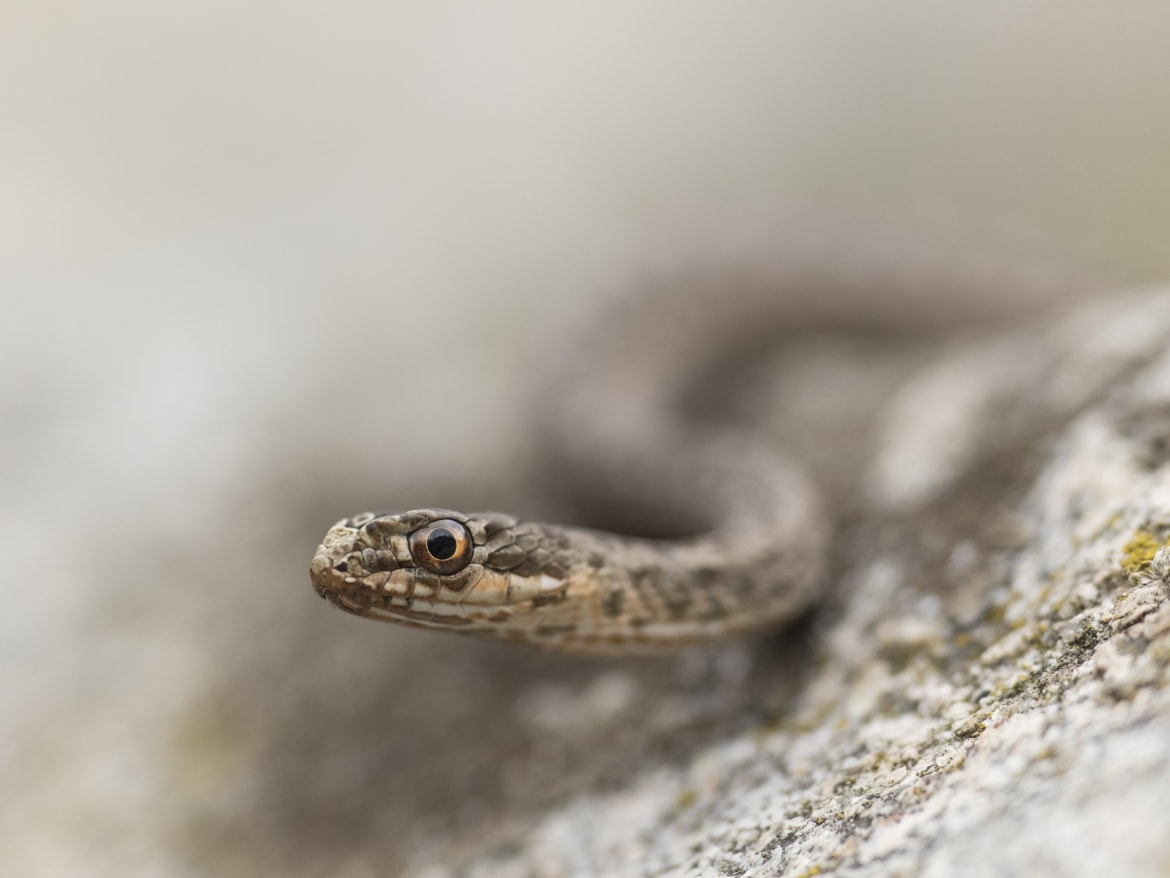 The detail of the head of a Young Montpellier Snake photographed during the NaturesLens Reptiles Amphibians of Bulgaria Photography Holiday