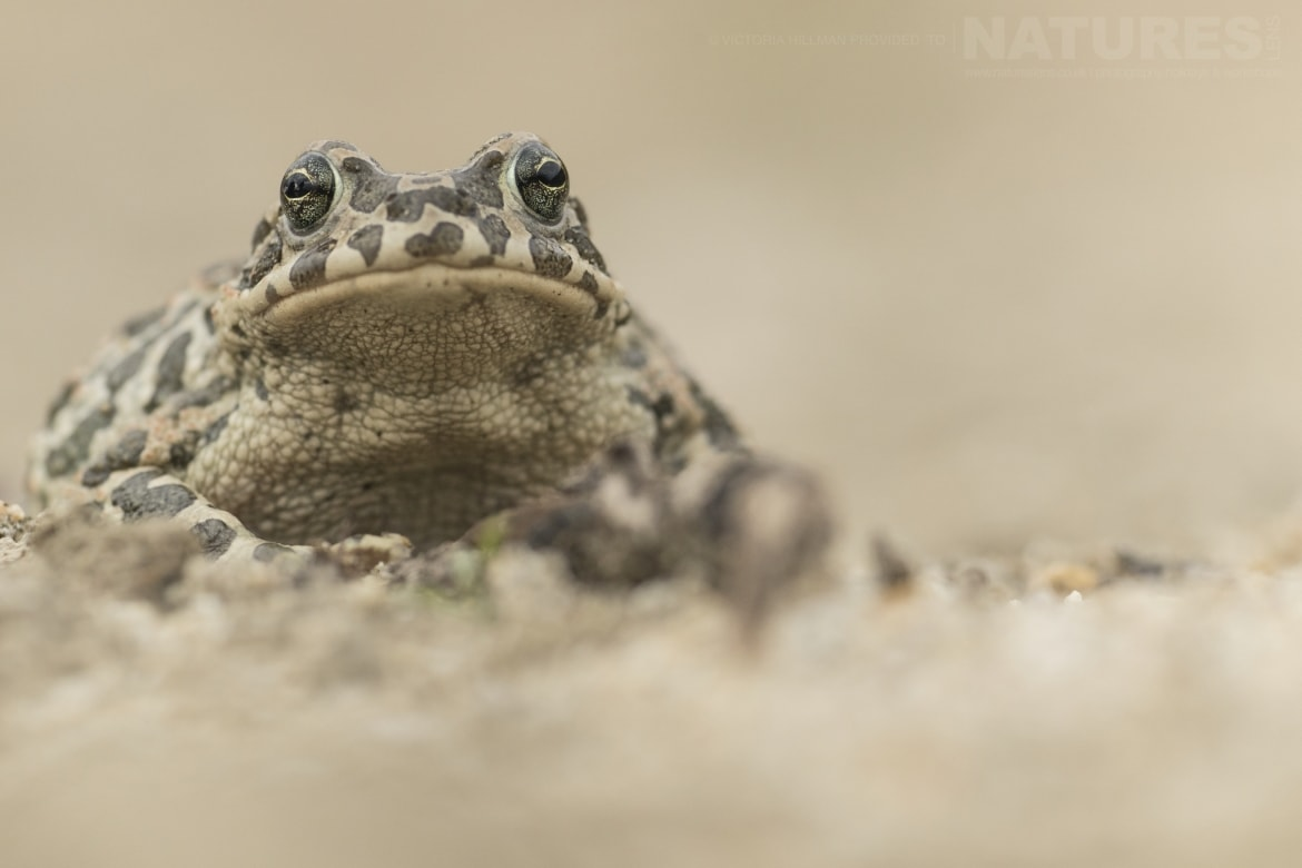 green toad female 2