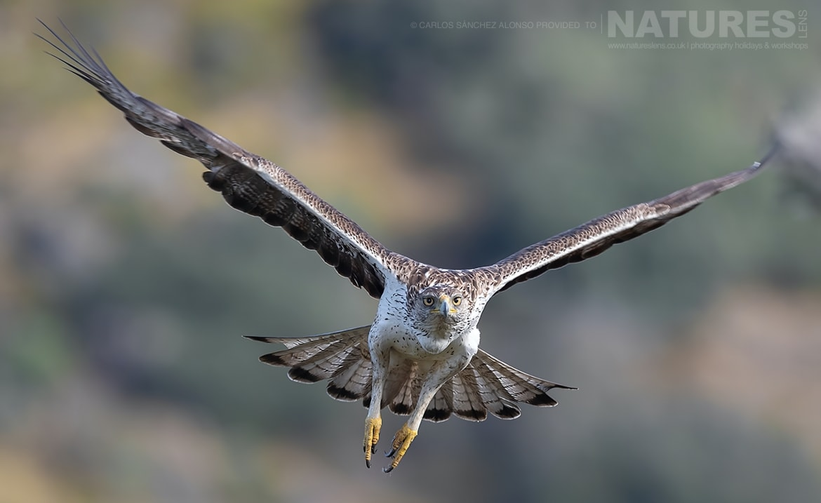 A Bonellis Eagle in flight photographed at the locations used for the NaturesLens Spanish Birds of the Castilian Plains photography holiday
