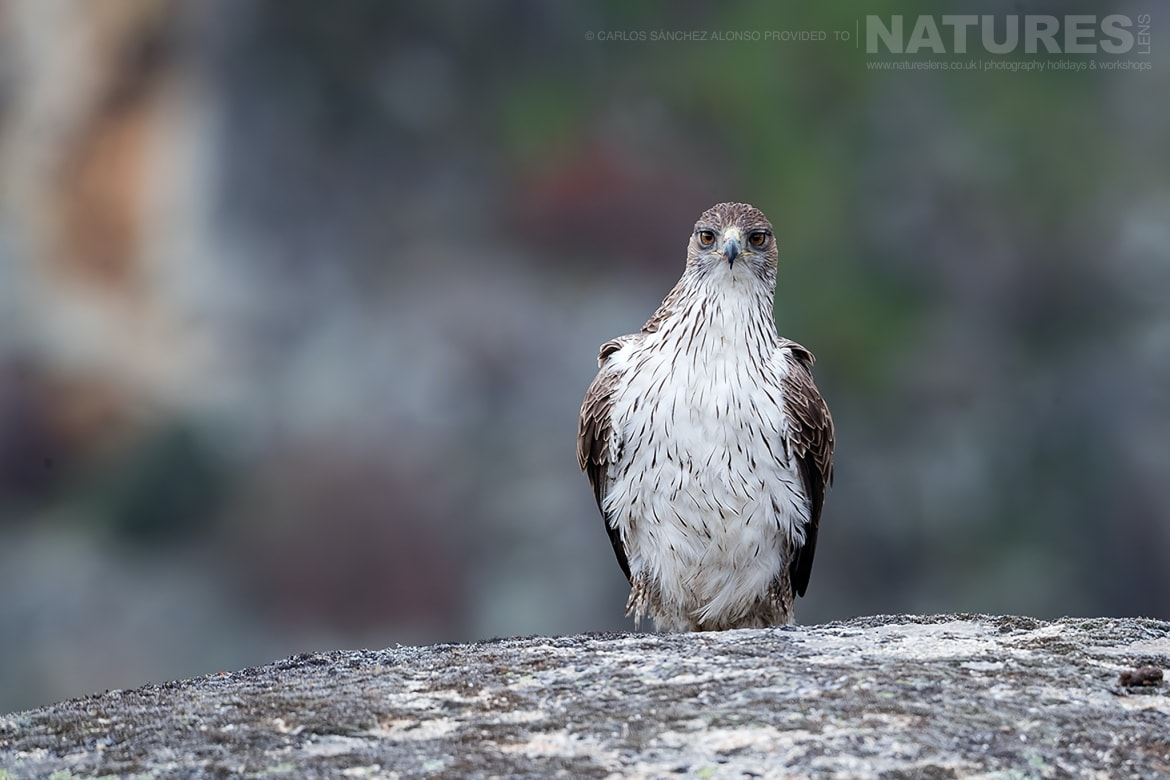 A Bonellis Eagle on a rocky outcrop photographed at the locations used for the NaturesLens Spanish Birds of the Castilian Plains photography holiday