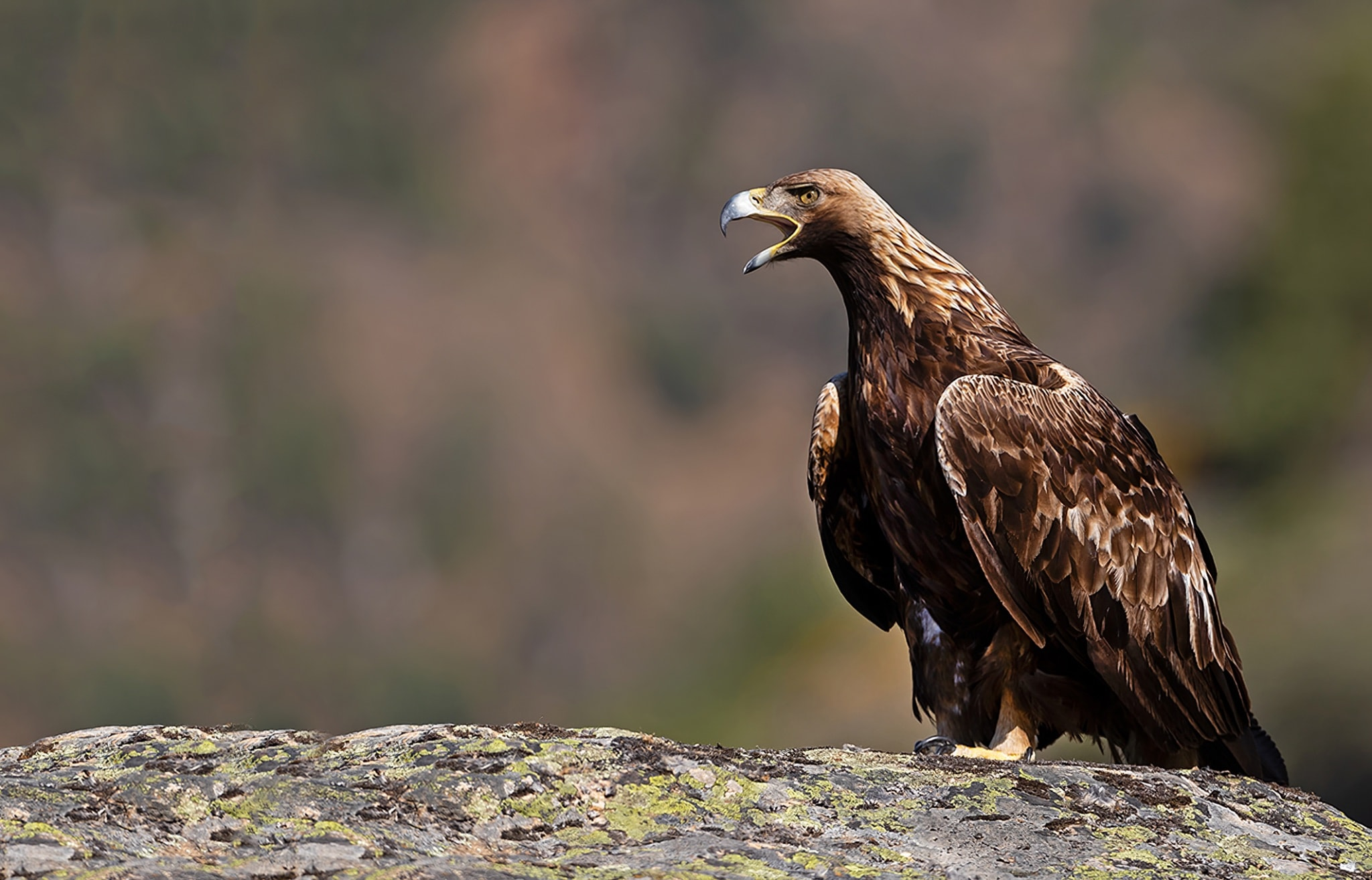 A Golden Eagle calls to announce its presence photographed at the locations used for the NaturesLens Spanish Birds of the Castilian Plains photography holiday