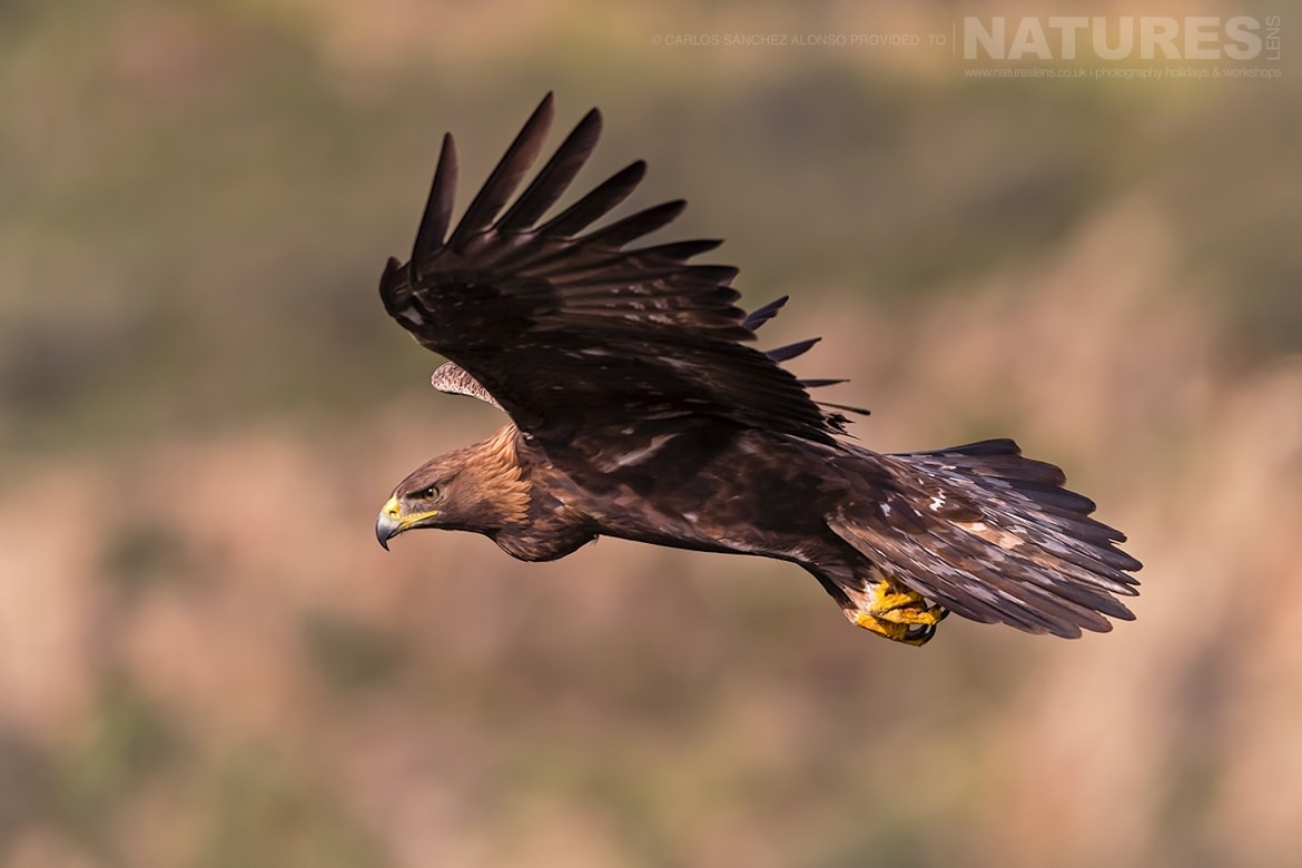A Golden Eagle in flight photographed at the locations used for the NaturesLens Spanish Birds of the Castilian Plains photography holiday