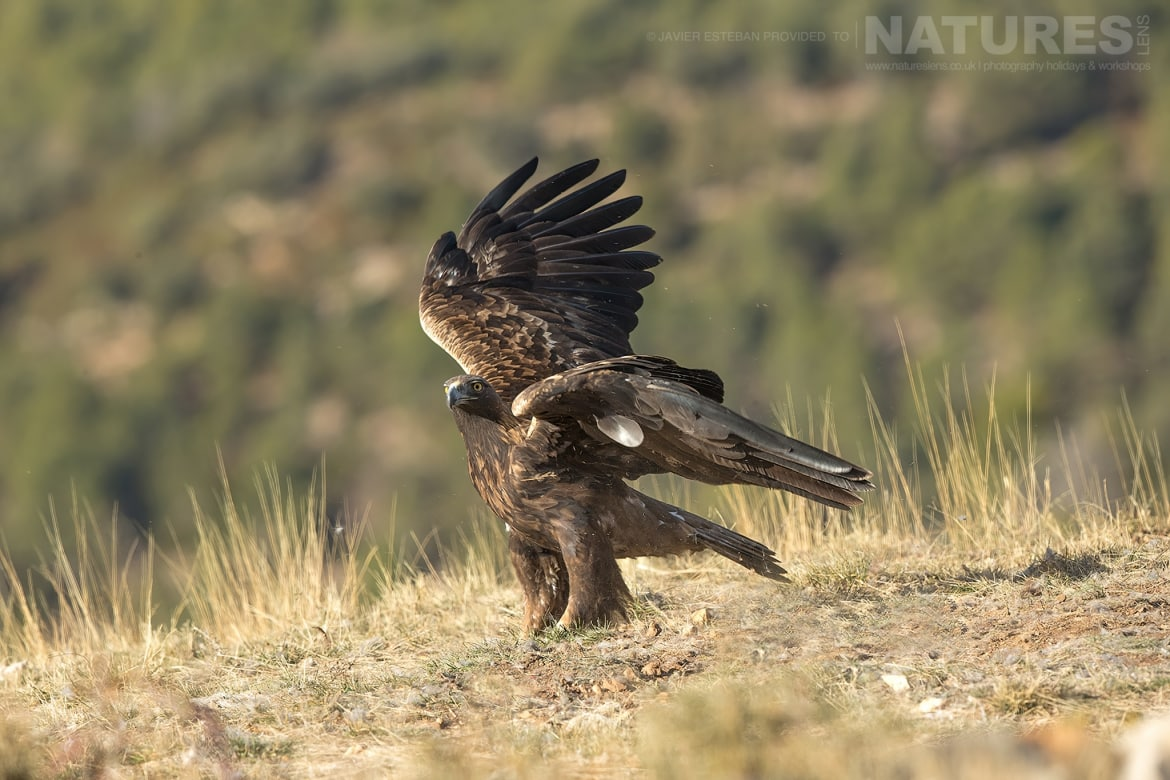 A Golden Eagle lands on the dusty mountainside captured at the locations used for the Natureslens Lammergeier Golden Eagle Photography Holiday