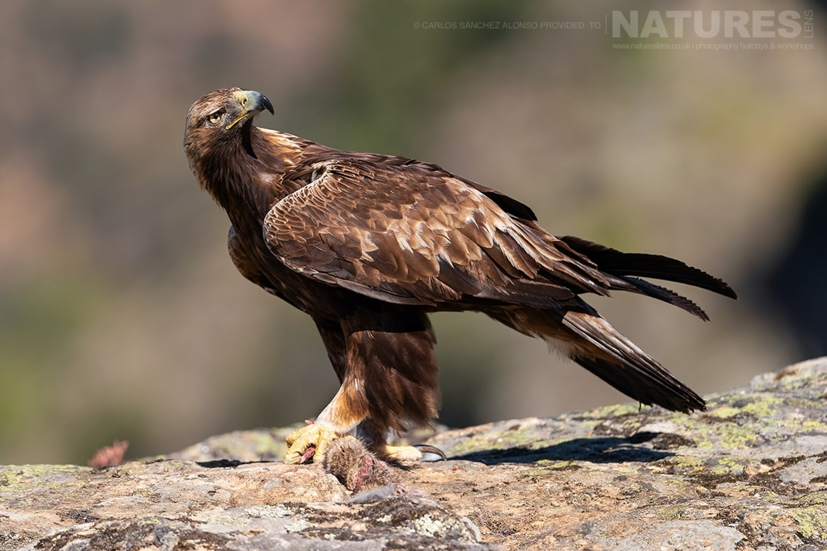 A Golden Eagle looks skyward photographed at the locations used for the NaturesLens Spanish Birds of the Castilian Plains photography holiday