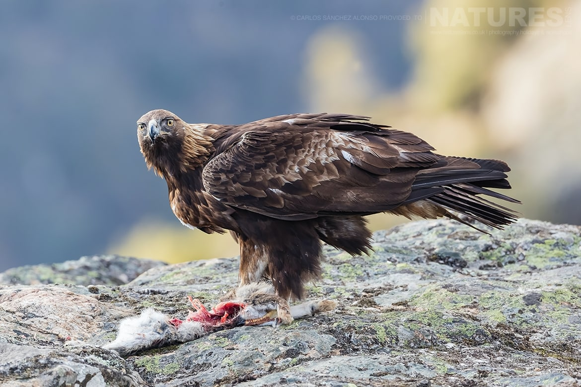 A Golden Eagle on a rocky outcrop photographed at the locations used for the NaturesLens Spanish Birds of the Castilian Plains photography holiday