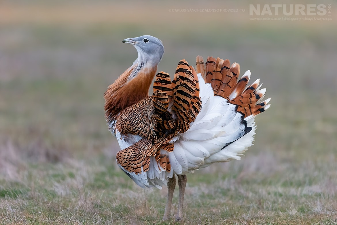 A Great Bustard stands proudly in a wild flower meadow photographed at the locations used for the NaturesLens Spanish Birds of the Castilian Plains photography holiday