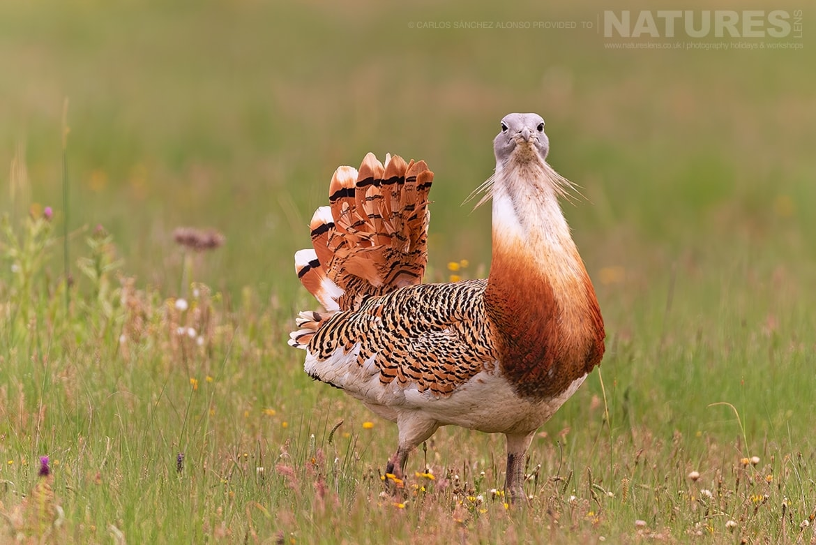 A Great Bustard strides through a wild flower meadow photographed at the locations used for the NaturesLens Spanish Birds of the Castilian Plains photography holiday