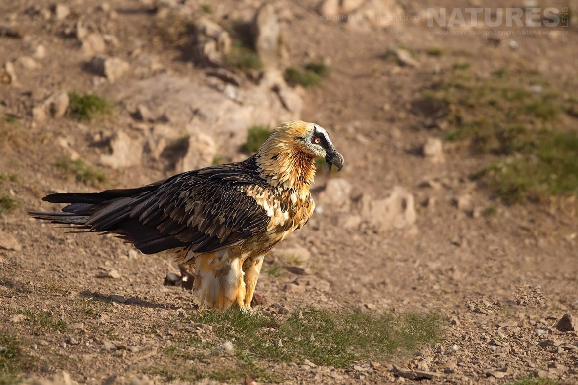 A Lammergeier on the dusty mountainside captured at the locations used for the Natureslens Lammergeier Golden Eagle Photography Holiday