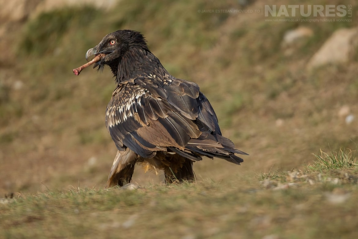A Lammergeier strides through the grass carrying a bone in its beak captured at the locations used for the Natureslens Lammergeier Golden Eagle Photography Holiday