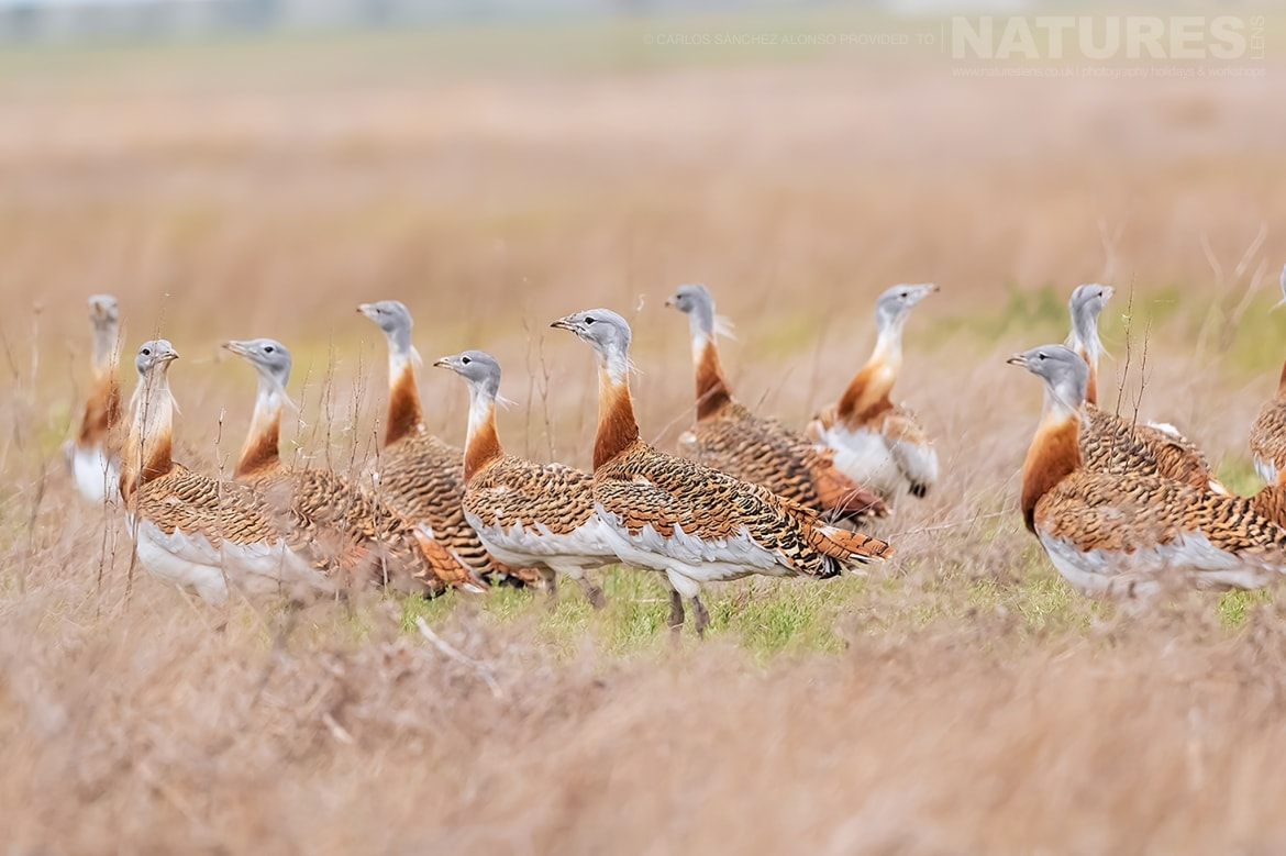 A gathering of Great Bustards standing proudly in a wild flower meadow photographed at the locations used for the NaturesLens Spanish Birds of the Castilian Plains photography holiday