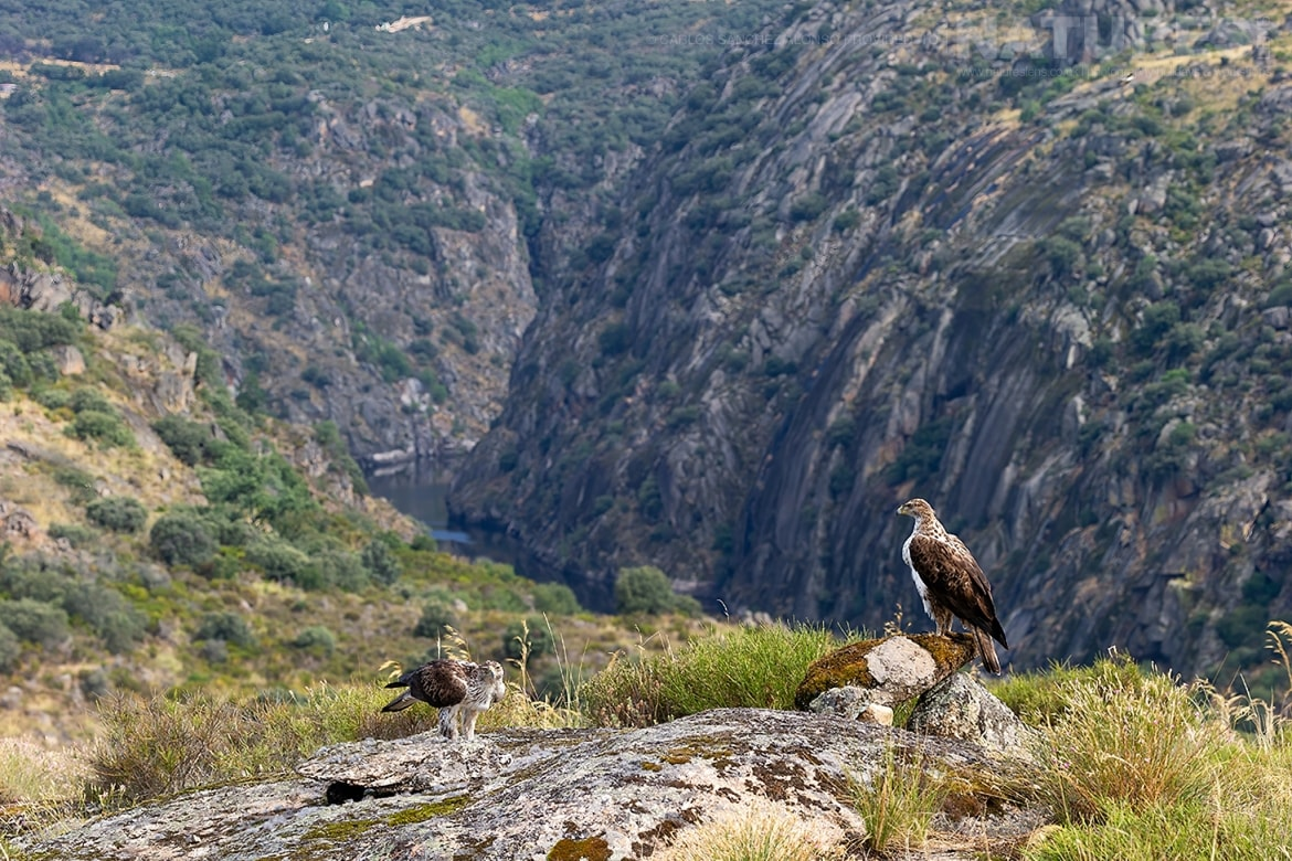 A pair of Bonellis Eagles with the wide Spanish vista behind photographed at the locations used for the NaturesLens Spanish Birds of the Castilian Plains photography holiday