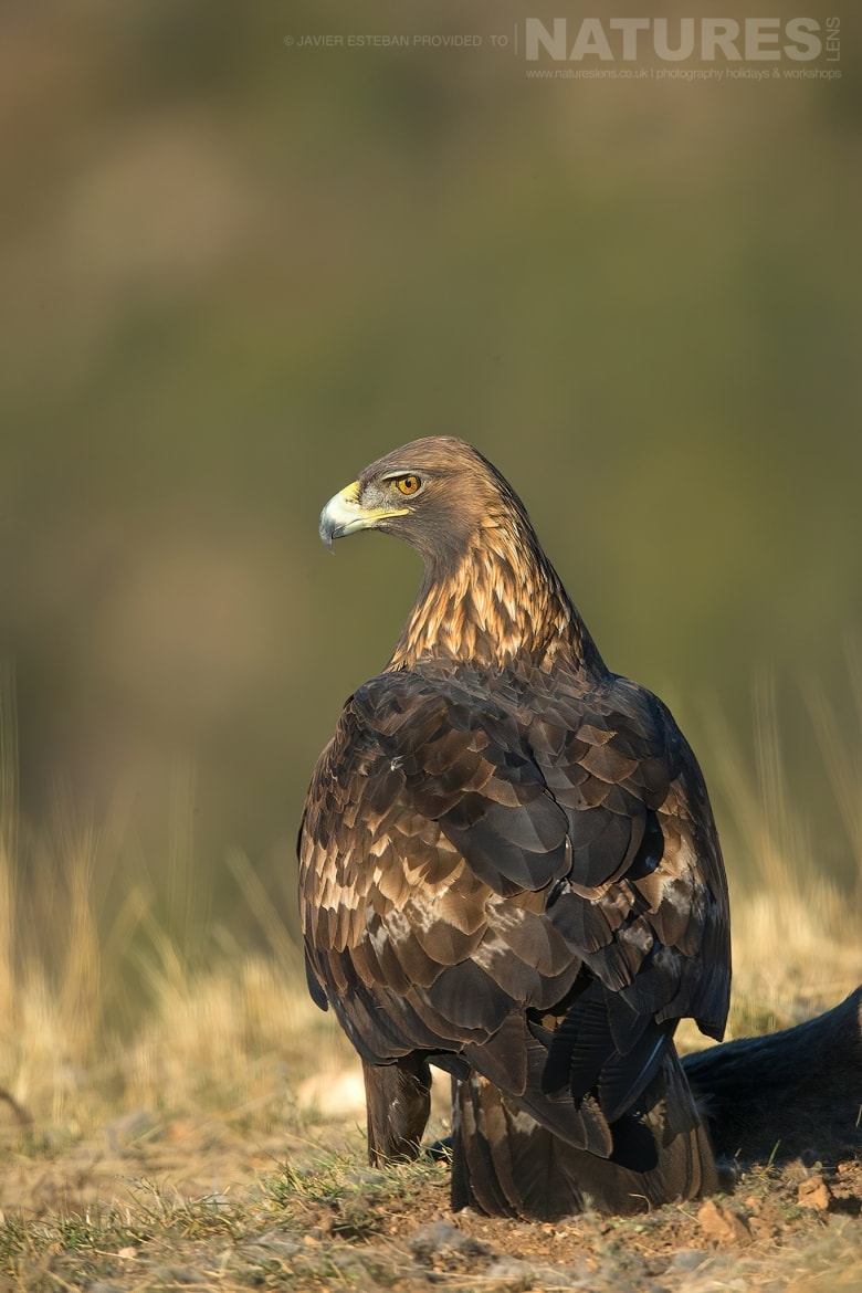 A posing Golden Eagle illuminated in soft light captured at the locations used for the Natureslens Lammergeier Golden Eagle Photography Holiday
