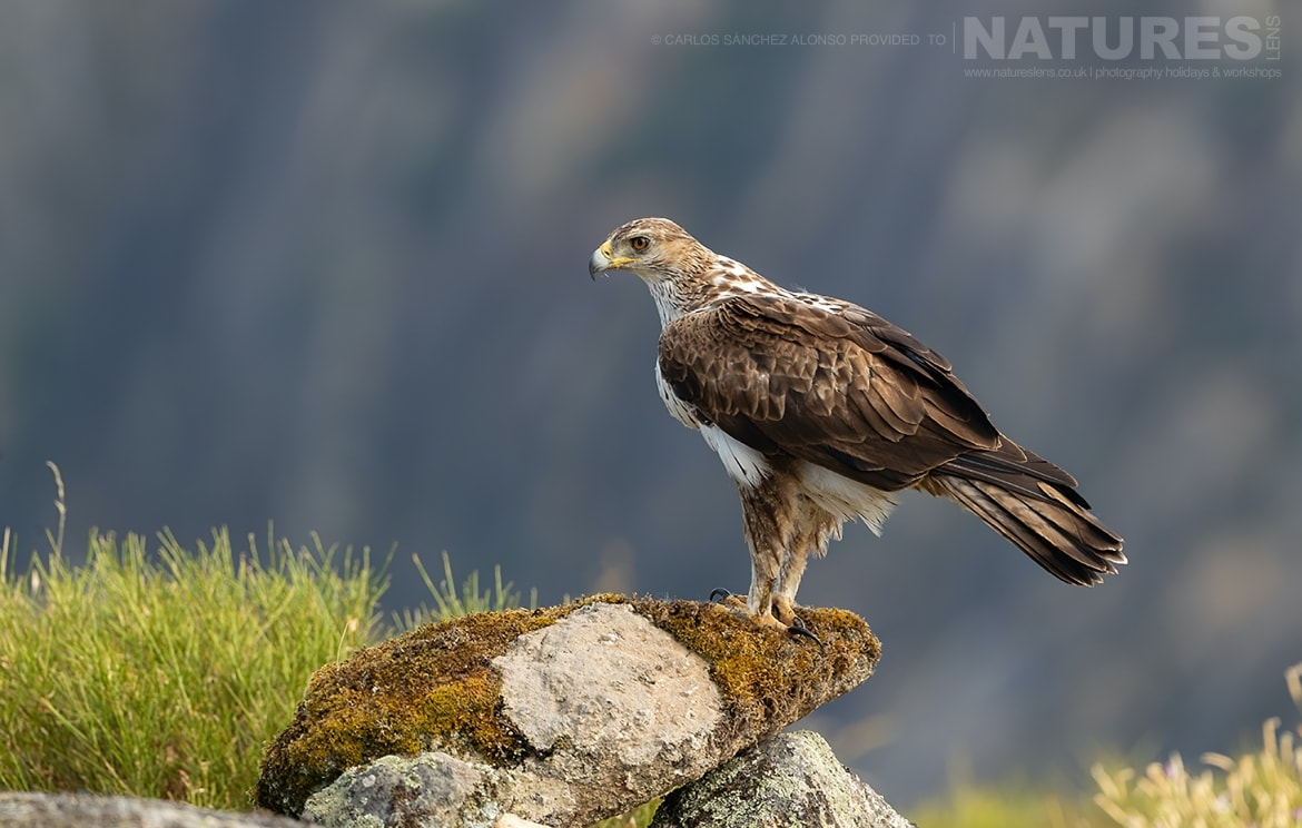 A solitary Bonellis Eagle perched on a rocky outcrop photographed at the locations used for the NaturesLens Spanish Birds of the Castilian Plains photography holiday