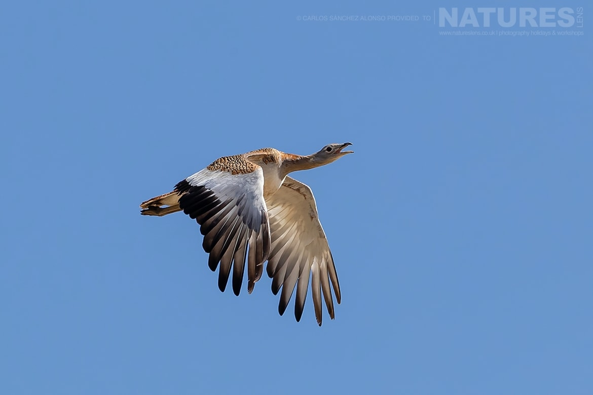 A solitary Great Bustard in flight above the plains meadows photographed at the locations used for the NaturesLens Spanish Birds of the Castilian Plains photography holiday