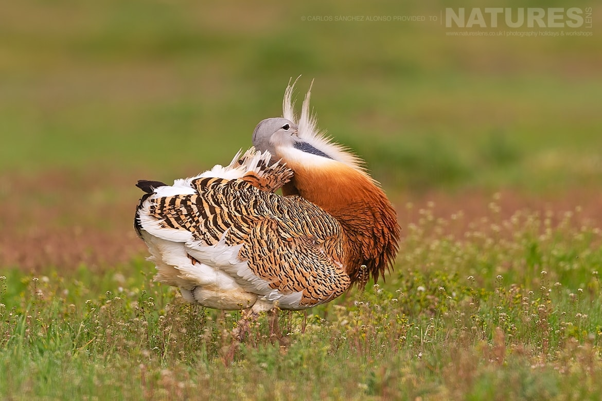 A solitary Great Bustard strides through a wild flower meadow photographed at the locations used for the NaturesLens Spanish Birds of the Castilian Plains photography holiday