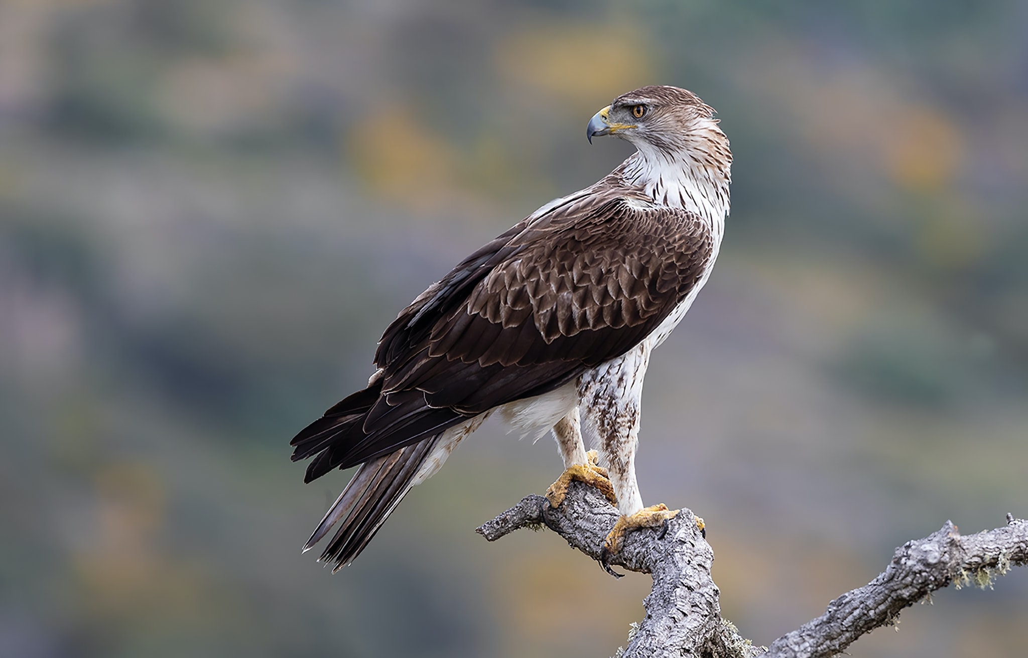 One of the Bonellis Eagles perched on a bare tree photographed at the locations used for the NaturesLens Spanish Birds of the Castilian Plains photography holiday