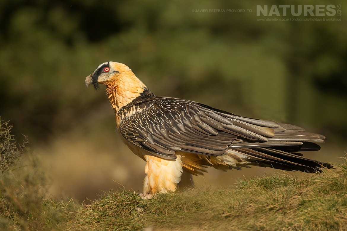 One of the Lammergeier on the mountainside captured at the locations used for the Natureslens Lammergeier Golden Eagle Photography Holiday