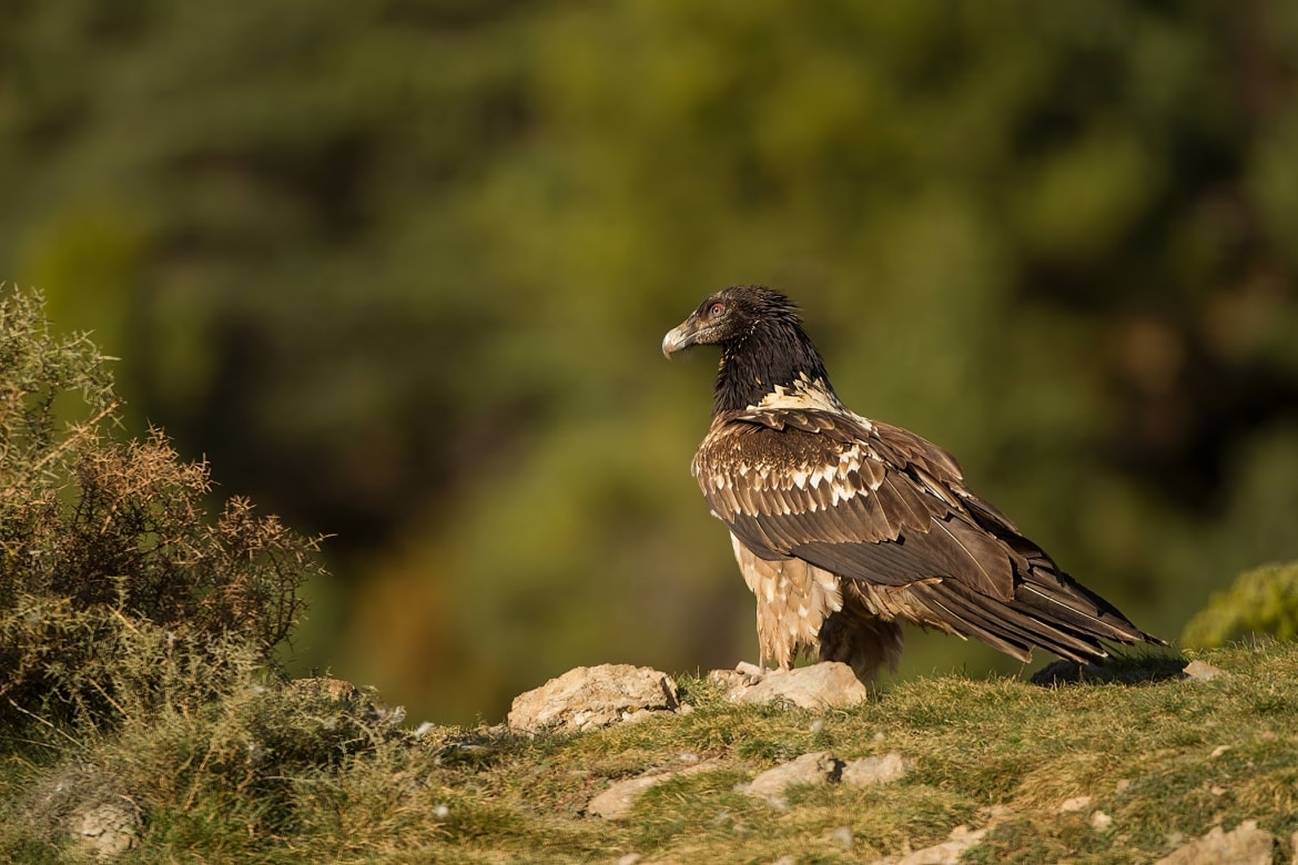 One of the Lammergeier poses on a rocky outcrop captured at the locations used for the Natureslens Lammergeier Golden Eagle Photography Holiday