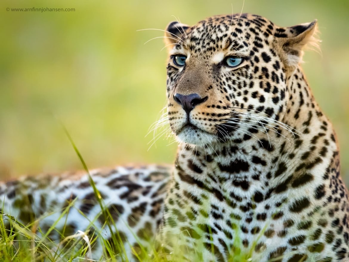 A leopard rests in the grass photographed in the locations to be used for the NaturesLens Wildlife of Africas Maasai Mara Photography Holiday
