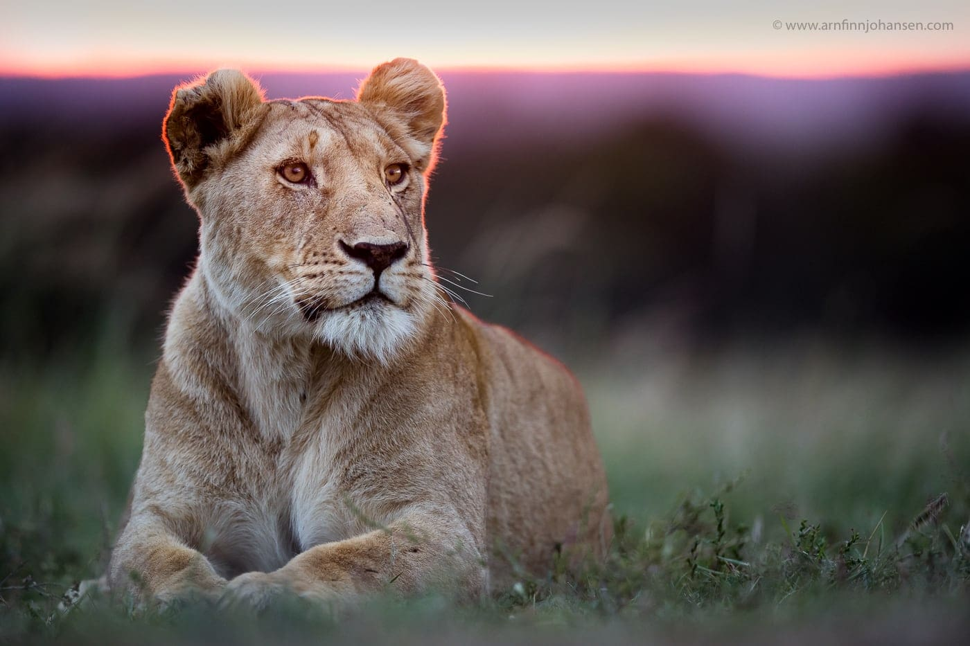 A Lioness Photographed Against The Setting Sun In The Locations To Be Used For The NaturesLens Wildlife Of Africas Maasai Mara Photography Holiday