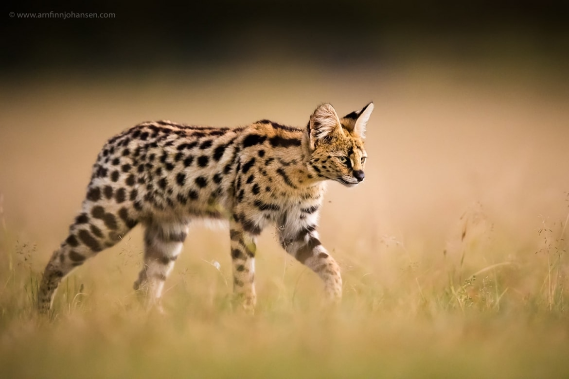 A serval cat strides through the grass photographed in the locations to be used for the NaturesLens Wildlife of Africas Maasai Mara Photography Holiday