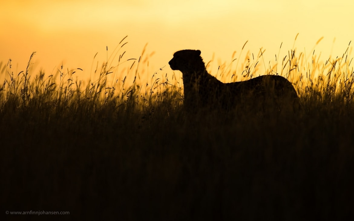 A single cheetah against an African sunset photographed in the locations to be used for the NaturesLens Wildlife of Africas Maasai Mara Photography Holiday