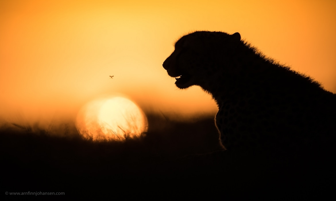 A solitary cheetah against an African sunset photographed in the locations to be used for the NaturesLens Wildlife of Africas Maasai Mara Photography Holiday