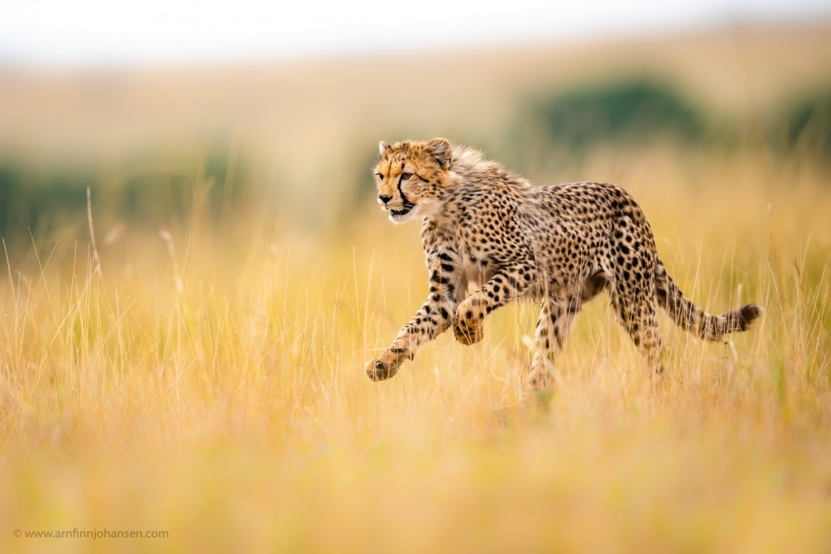 A young cheetah bounds through the grass photographed in the locations to be used for the NaturesLens Wildlife of Africas Maasai Mara Photography Holiday