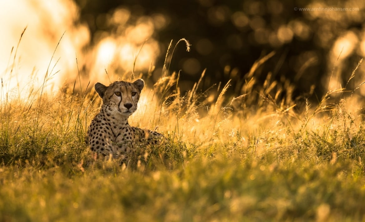 A young cheetah rests in the grass photographed in the locations to be used for the NaturesLens Wildlife of Africas Maasai Mara Photography Holiday