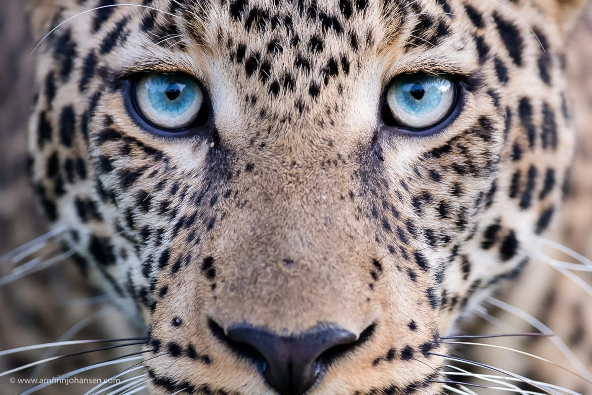 A full face view of a leopard photographed in the locations to be used for the NaturesLens Wildlife of Africas Maasai Mara Photography Holiday