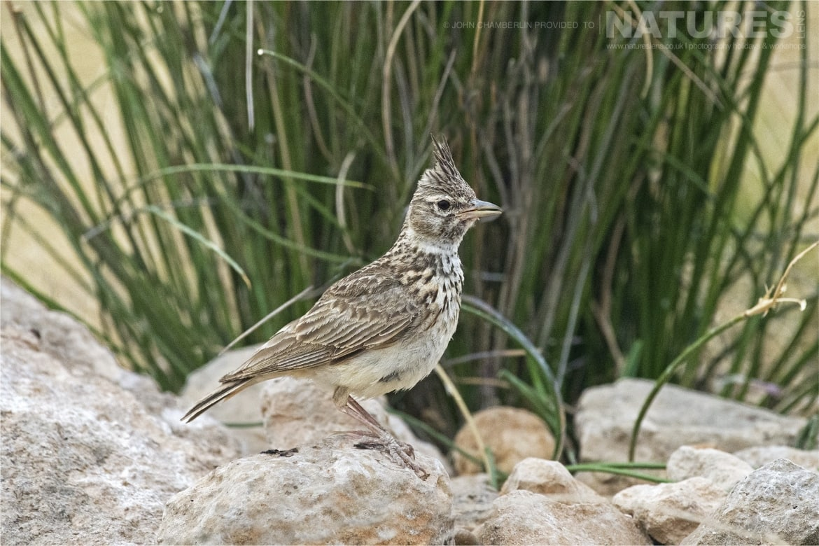 A Crested Lark at one of the many estate drinking pools photographed during the Spanish Birdlife of Toledo Photography Holiday