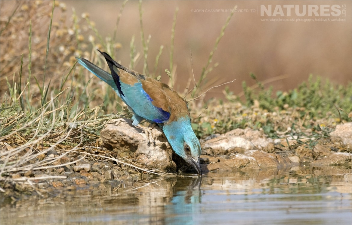 A European Roller drinking from one of the larger drinking pools photographed during the Spanish Birdlife of Toledo Photography Holiday