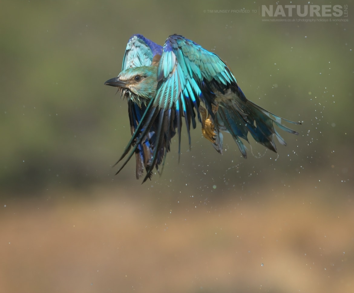 A European Roller takes flight photographed during the NaturesLens Spanish Wildlife Birdlife of Toledo Photography Holiday