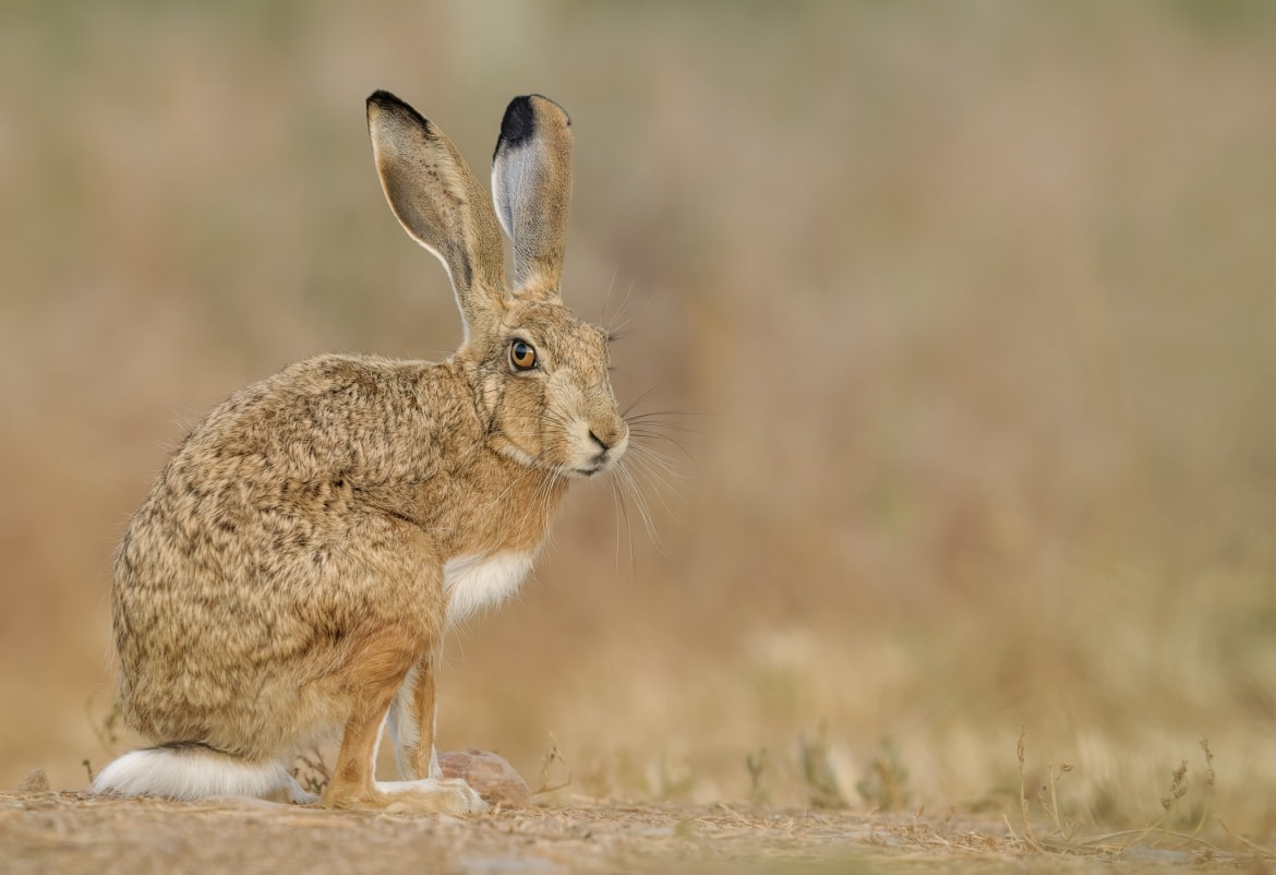 A European hare stands on the ground glances at the camera photographed during the NaturesLens Spanish Wildlife Birdlife of Toledo Photography Holiday