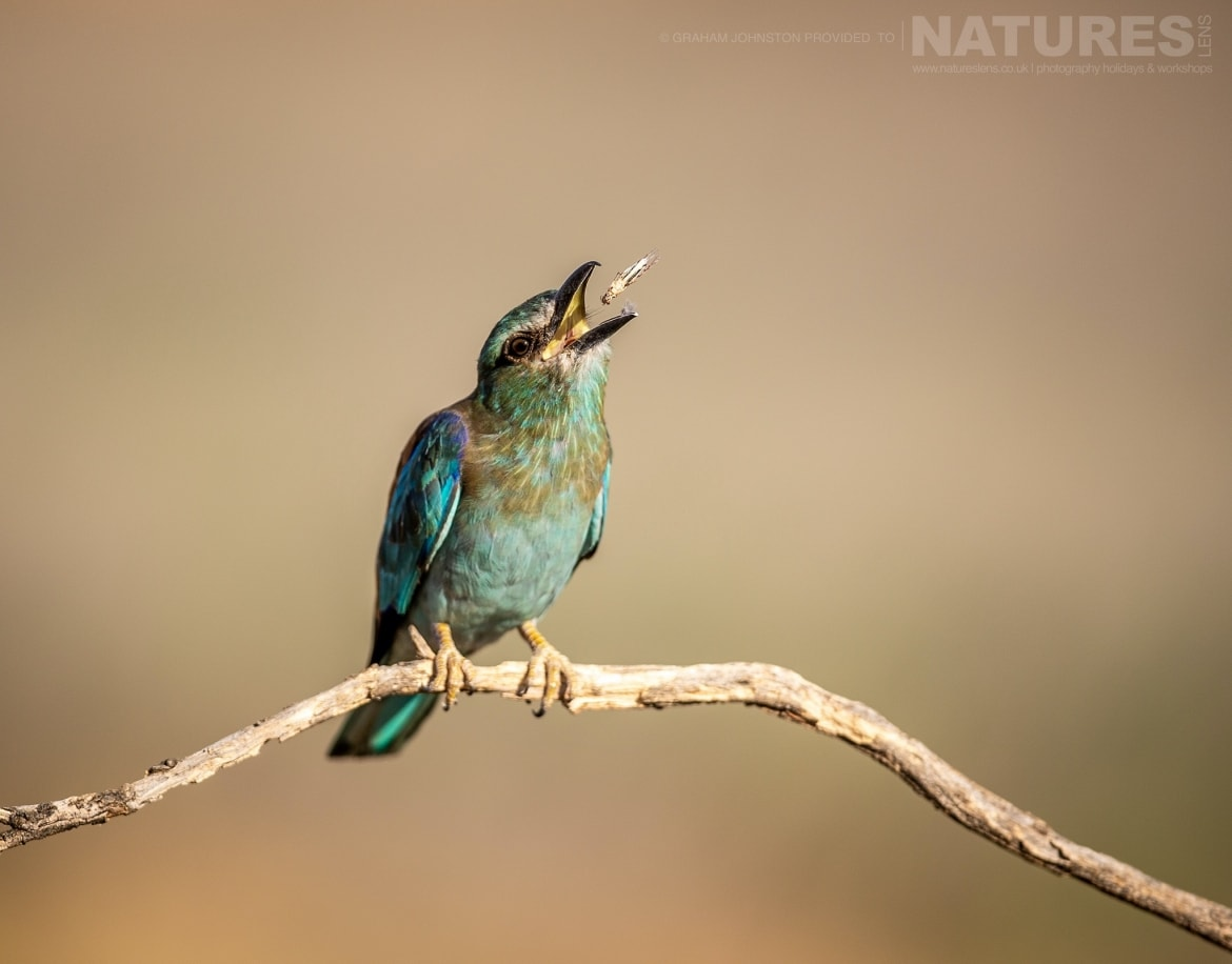 A Europen Roller tosses a fly before eating it photographed during the NaturesLens Spanish Wildlife Birdlife of Toledo Photography Holiday